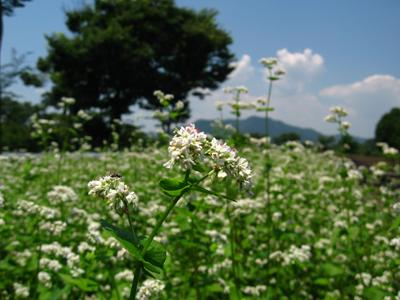 そば開花.jpg